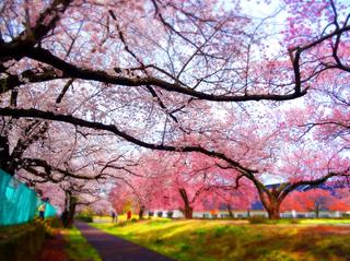 01県立博物館桜s.jpg