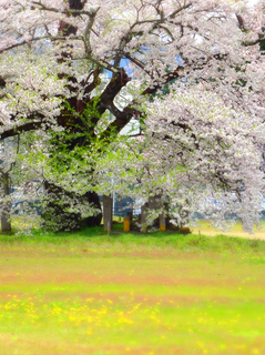 03古御田の桜.JPG