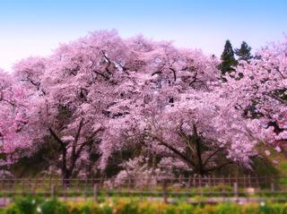 04鶴ヶ城二の丸入口桜s.jpg