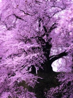 05鶴ヶ城二の丸入口桜s.jpg