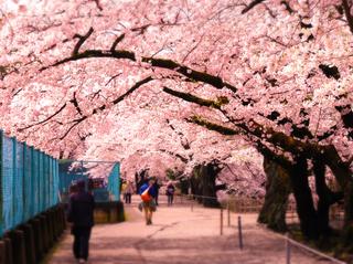 08鶴ヶ城二の丸桜s.jpg