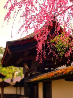 10鶴ヶ城麟閣桜s.jpg