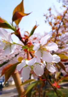 18鶴ヶ城容保桜s.jpg