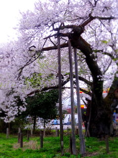 23高天原の神代桜.JPG
