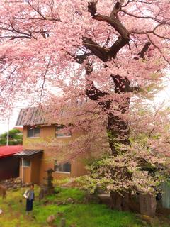 26文殊院の知恵桜.JPG