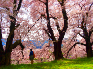 26鶴ヶ城二の丸土手桜s.jpg