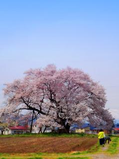 29馬の墓種蒔桜.JPG