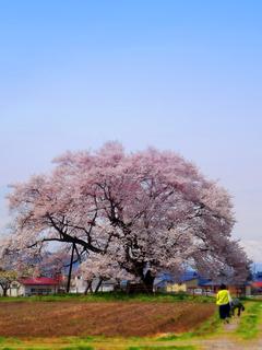 29馬の墓種蒔桜s.jpg