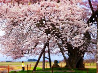 31馬の墓種蒔桜.JPG