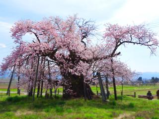 95米沢の千歳桜.JPG
