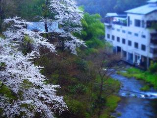 つ瀧の湯朝霞桜s.jpg